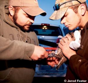 Researchers tag a Lesser Prairie Chicken