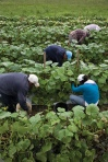 farm workers 2